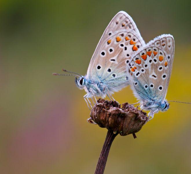 Icarusblauwtjes-DK_30I7074