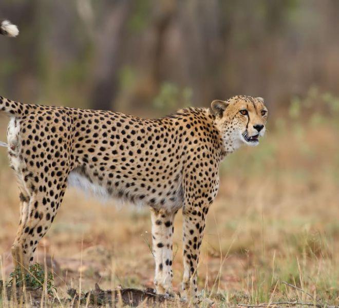 Cheetah-AF_MG_0274