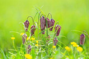 Groepje kievitsbloemen