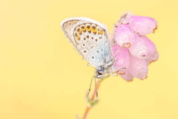 Heideblauwtjes fotograferen