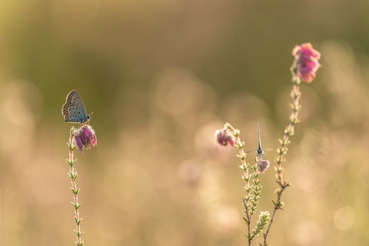 Heidebaluwtjes Fotograferen