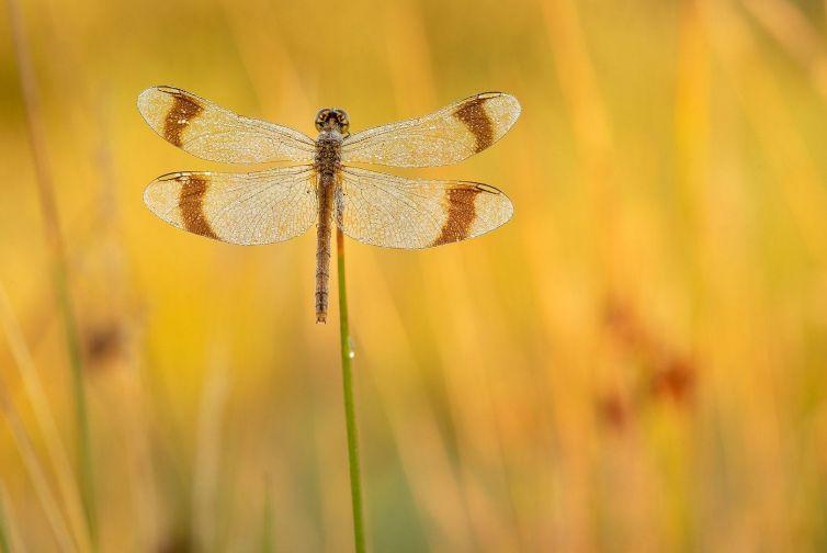 Heidelibellen en Icarusblauwtjes fotograferen