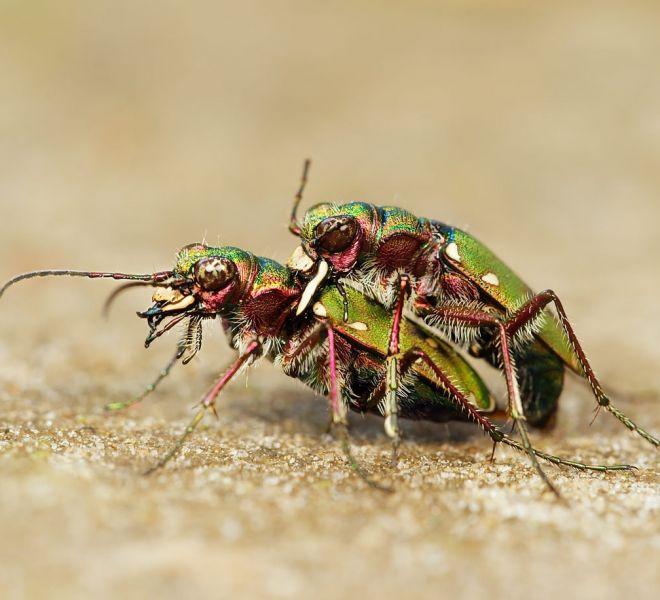Parende-Groene-Zandloopkevers-EA-1