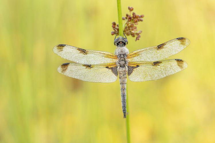 Vlinders en libellen in het Woldlakebos