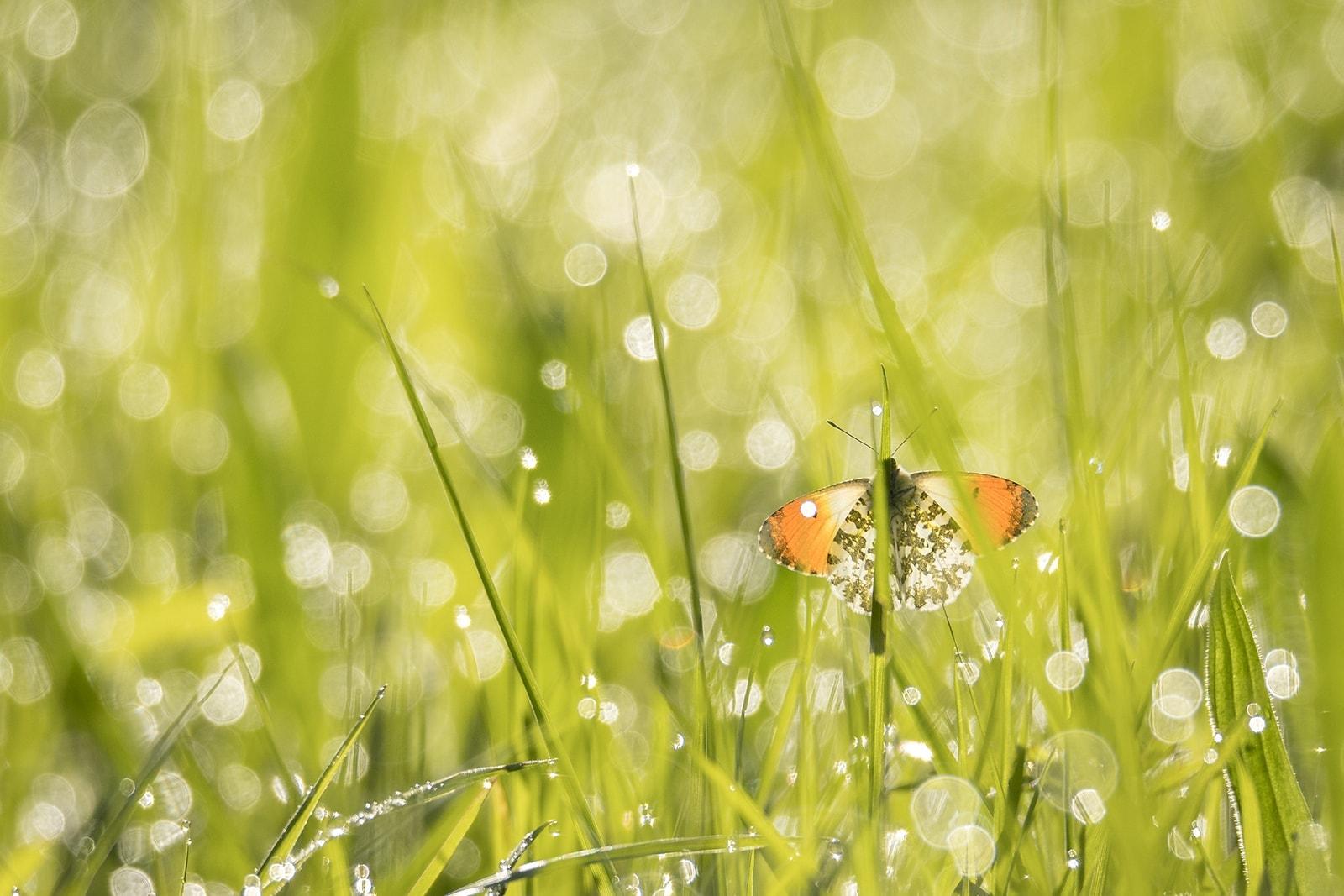Oranjetipjes fotograferen in het natte gras 2